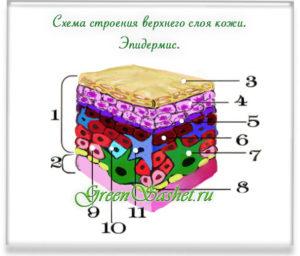 Схема эпидермиса