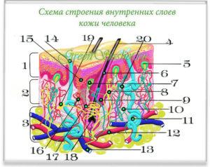 Схема гиподермиса.